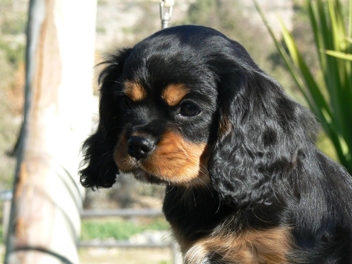 Black & Tan Cavalier pup