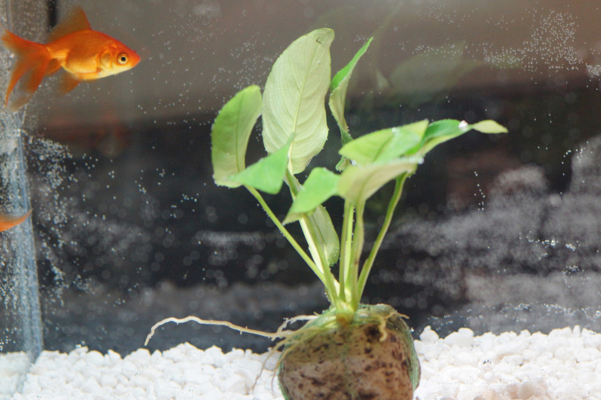 Make sure your bowl or tank is big enough to accommodate your fish. Avoid overcrowding.