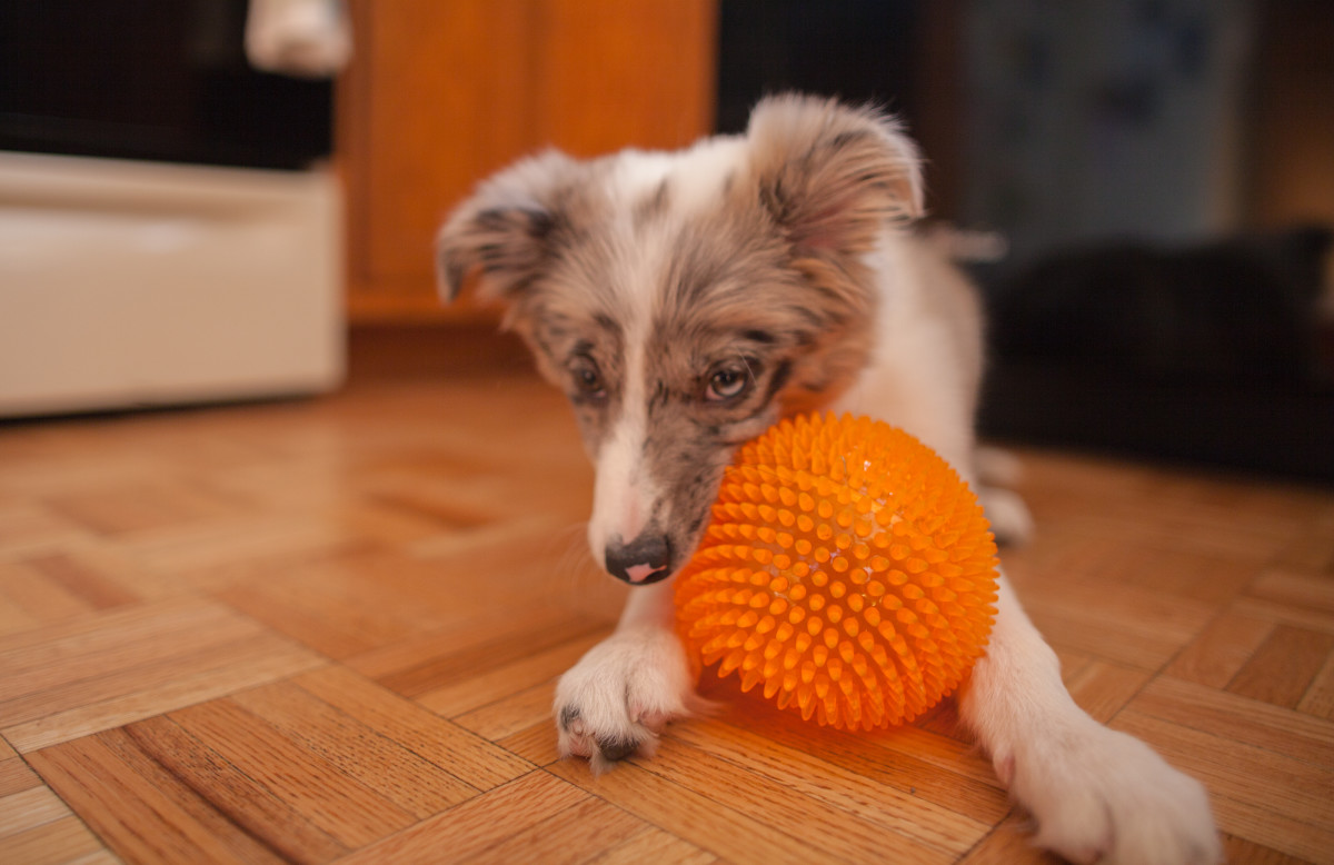 If your puppy hasn't had enough time to learn where things are in her apartment, she may forget to go potty there once she is let out. Make sure to give her sufficient time to succeed!
