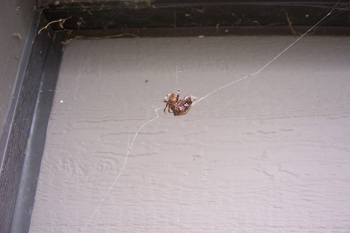 Spider Outside with Canned Cricket