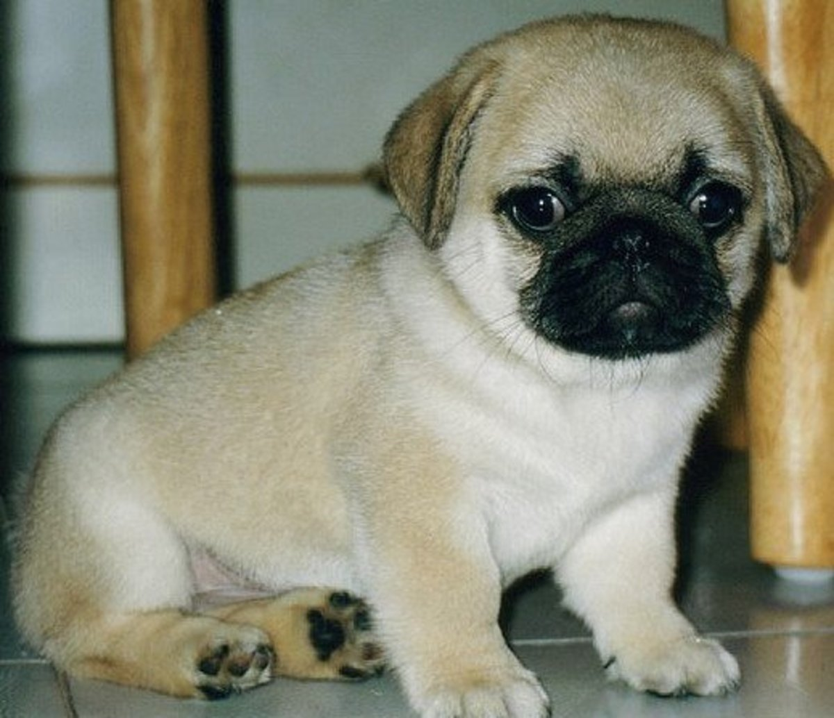 Baby Pug Pic courtesy of Ward Kadel on Flickr, licensed under Creative Commons