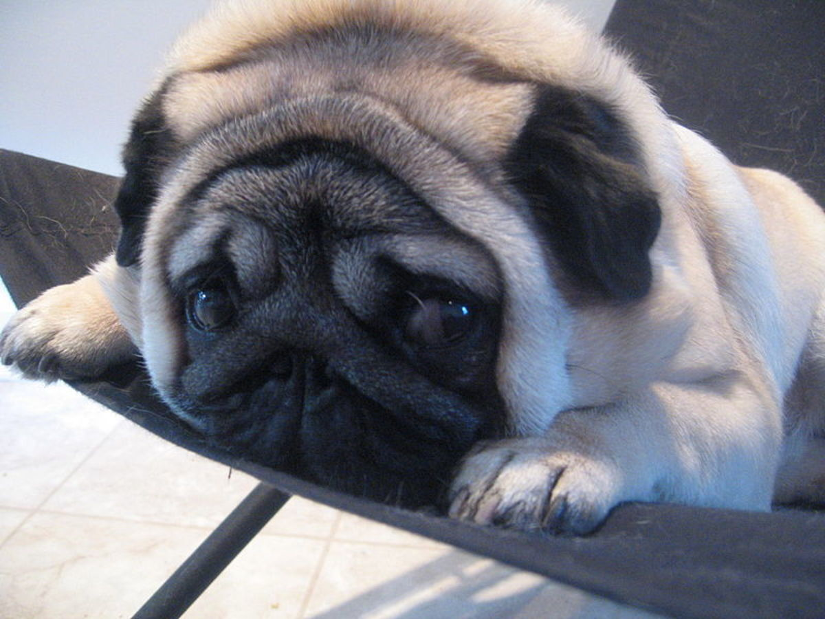 Gadget the Pug - Wikimedia Commons