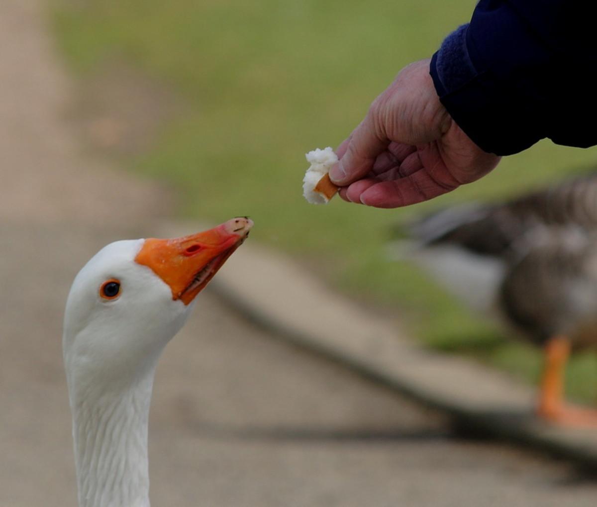 Feeding a goose