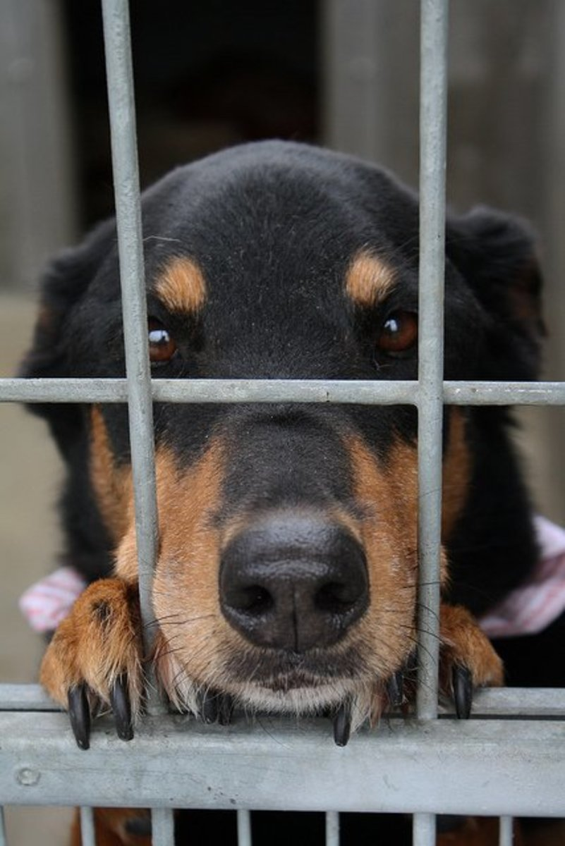 This dog suffers from Big Black dog syndrome and is unlikely to ever find a home.