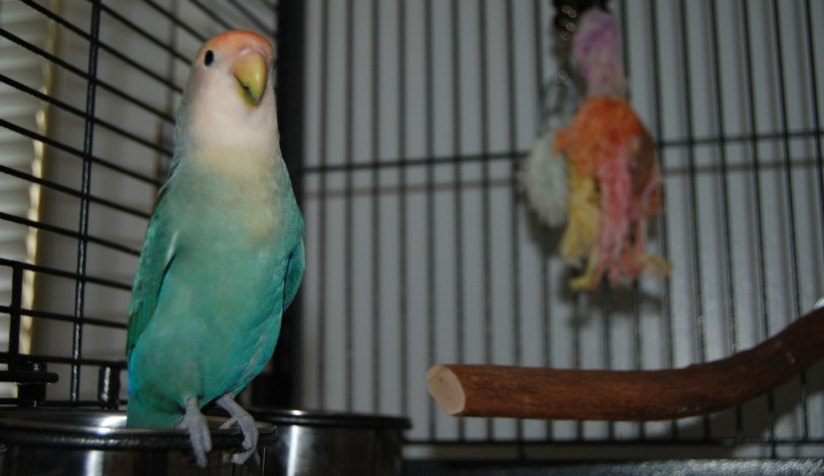 Bonnie, asking to be taken out of her cage for play time.