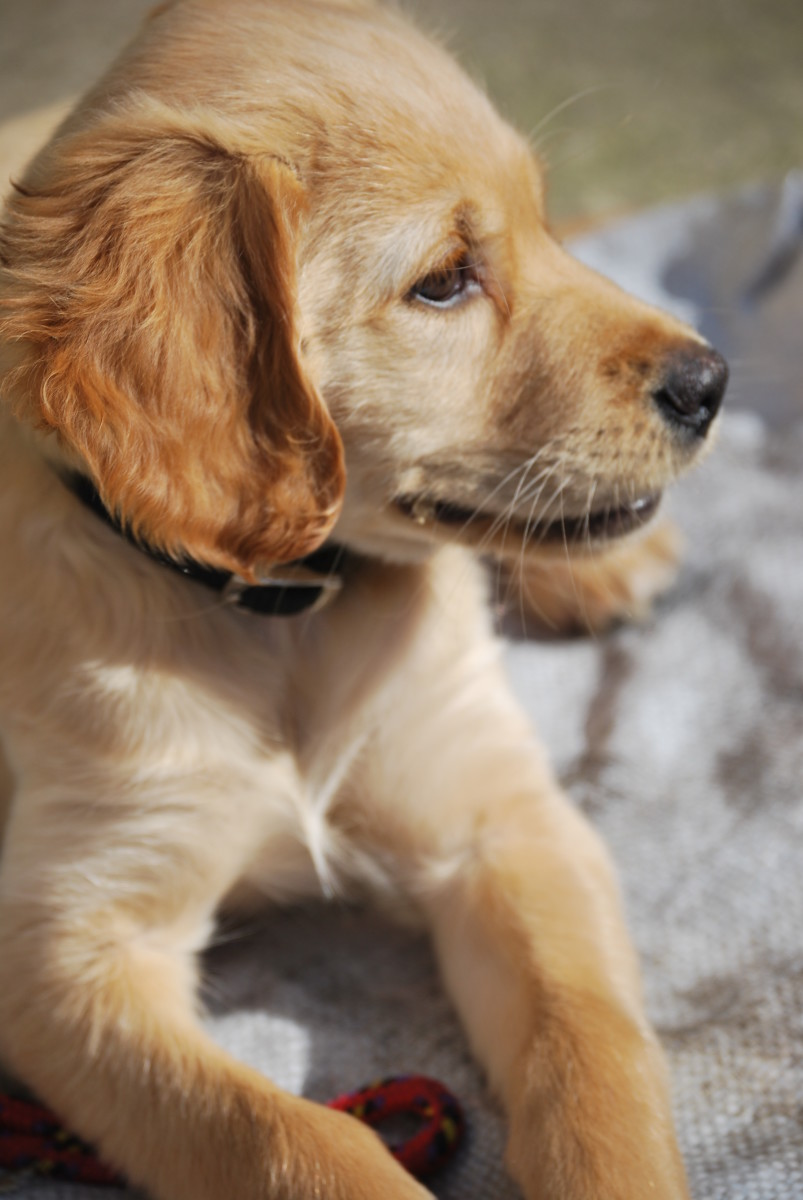 Tips for Puppy Training: Toilet, Crate, Whining, and Biting