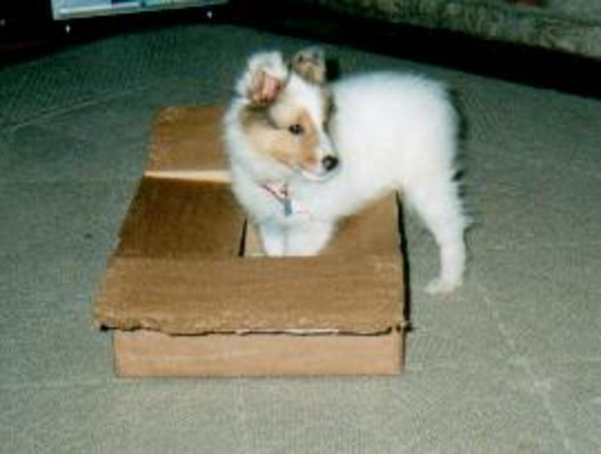 Puppy Jericho playing with a box.