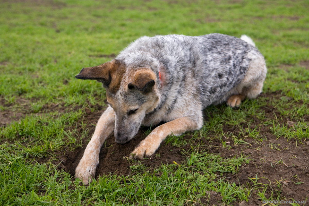 Digging is a good way to spend the time for a bored dog.