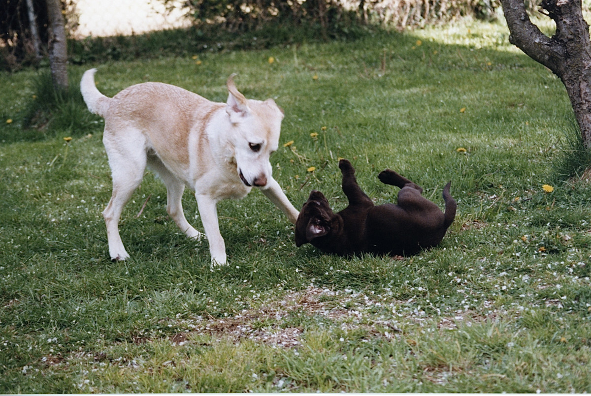 Bess playing with Owen when he was a puppy