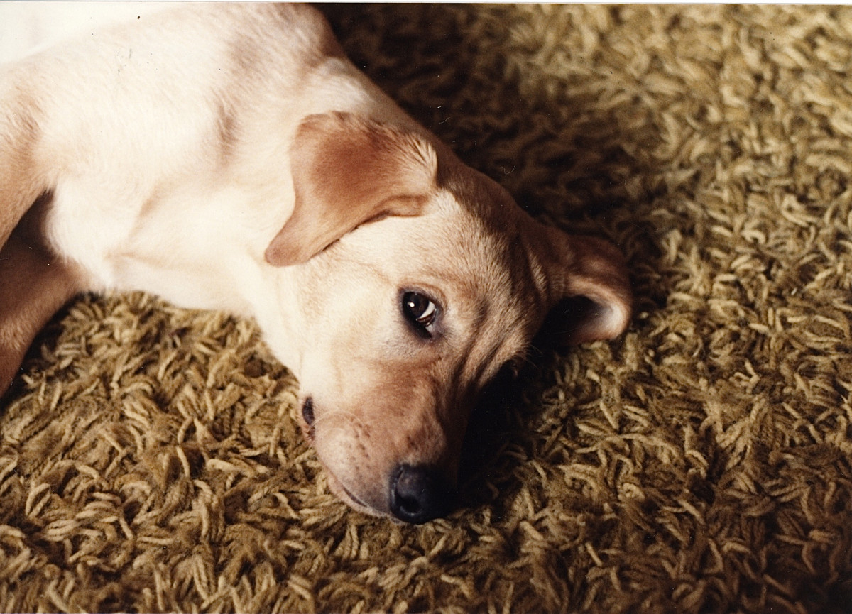 Simba, our first lab, as a young dog