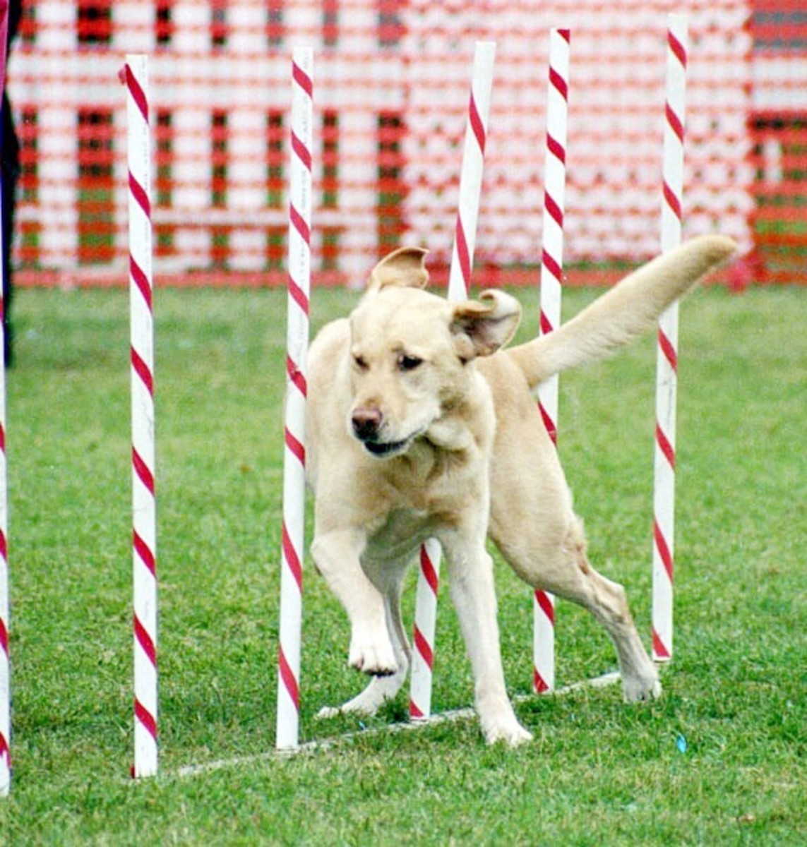 A yellow Lab going through the weave poles during an agility event