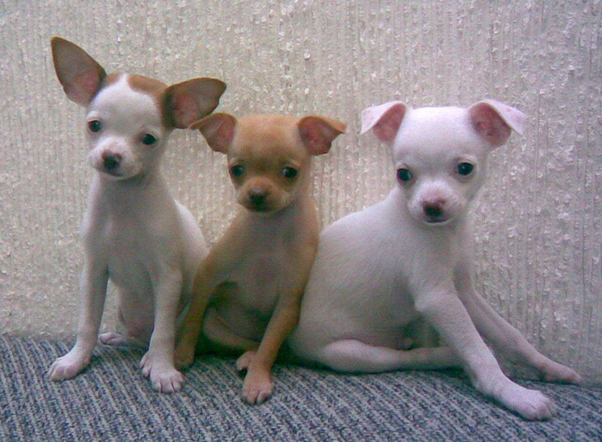 These Chihuahua puppies may look innocent, but we know better.