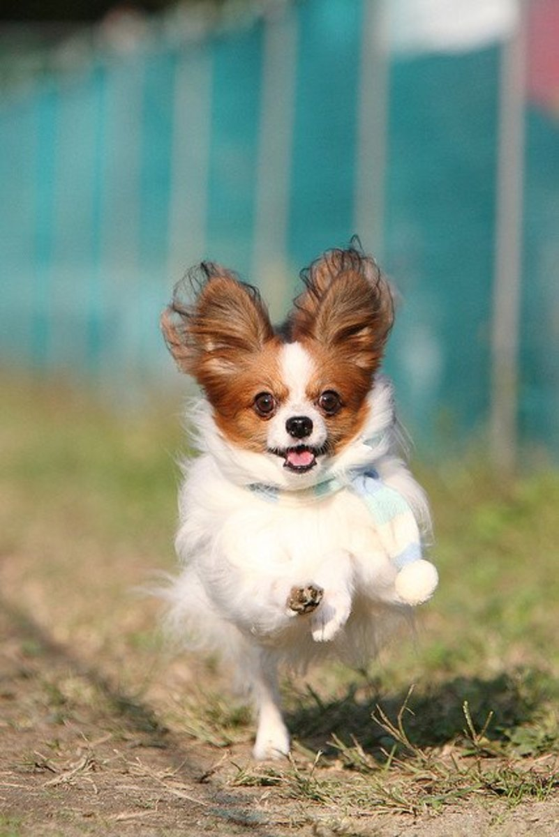 A Papillon escaping for a meeting with his alien contact.