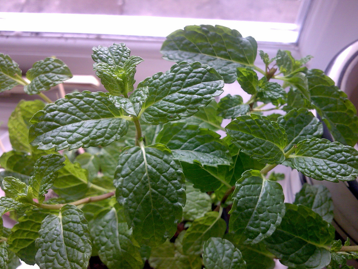 Add mint leaves to dog treats to give your dog fresh breath!
