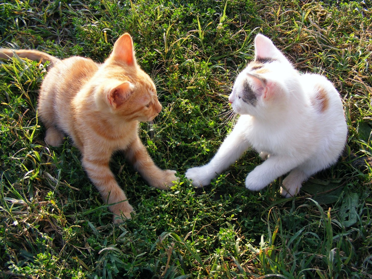 cats-not-getting-along