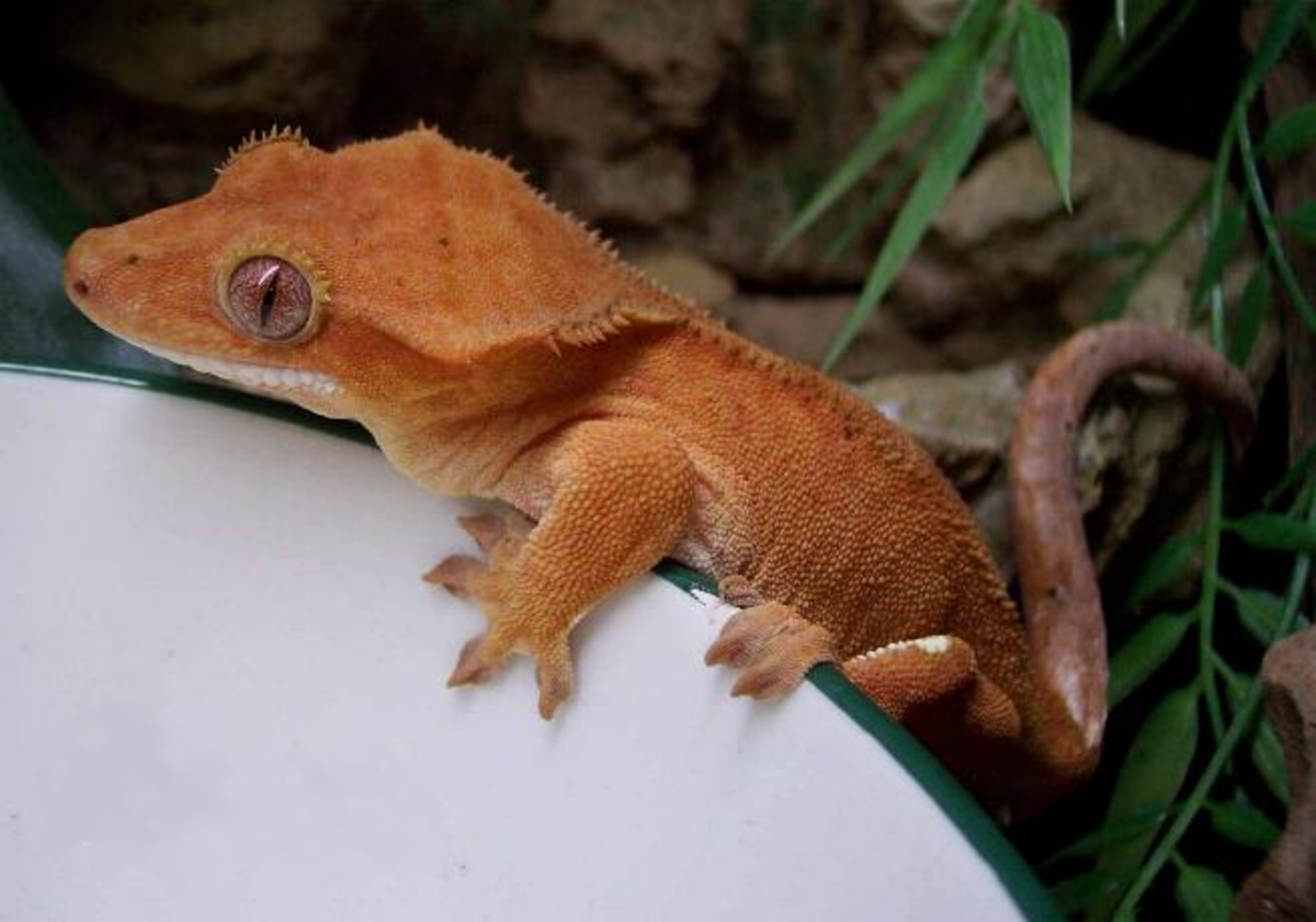 Orange phase crested gecko