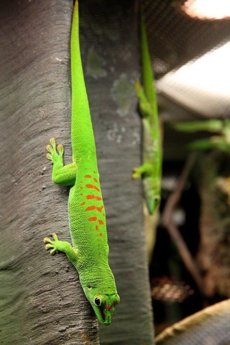 Giant Madagascar Day Gecko