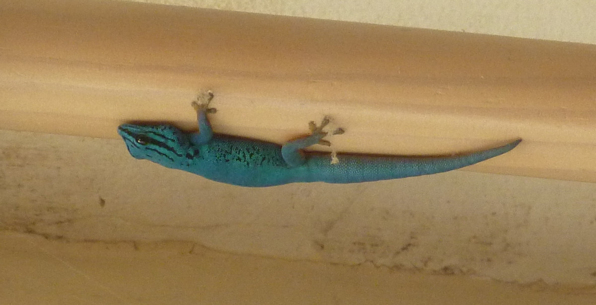 My electric blue gecko, William, exploring the ceiling on a brief, accidental trip outside.
