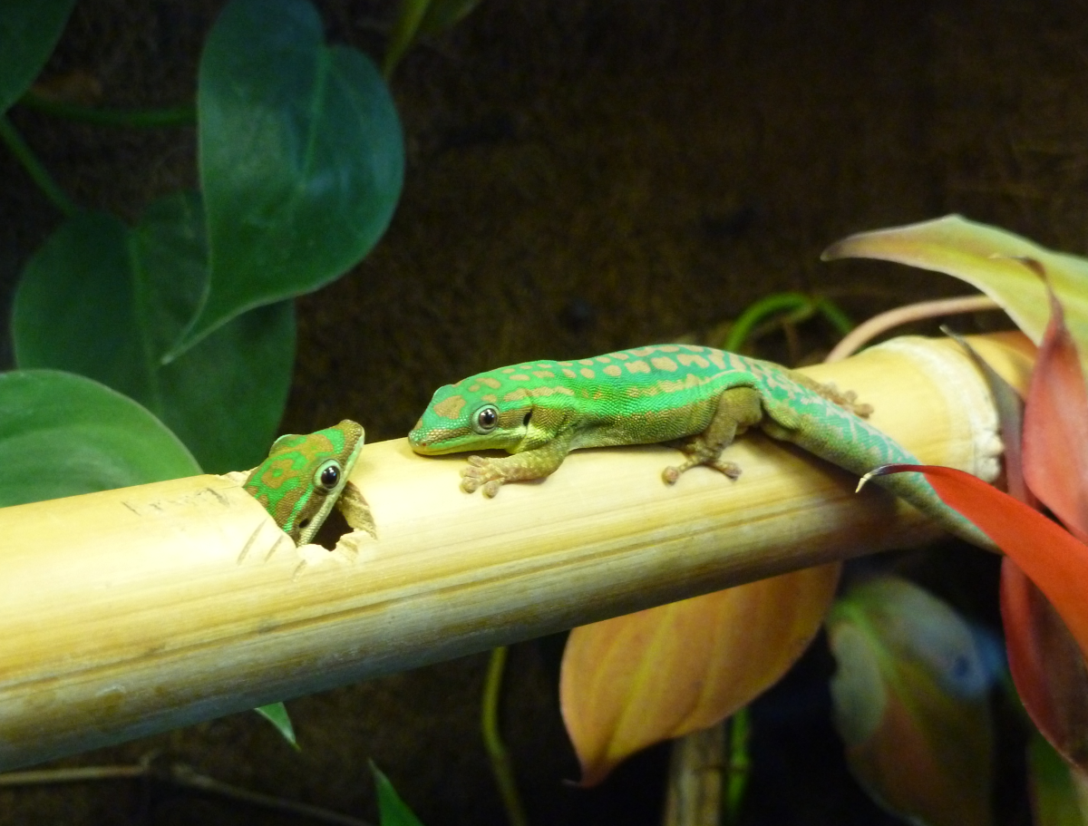 Pair of P. cepediana day geckos