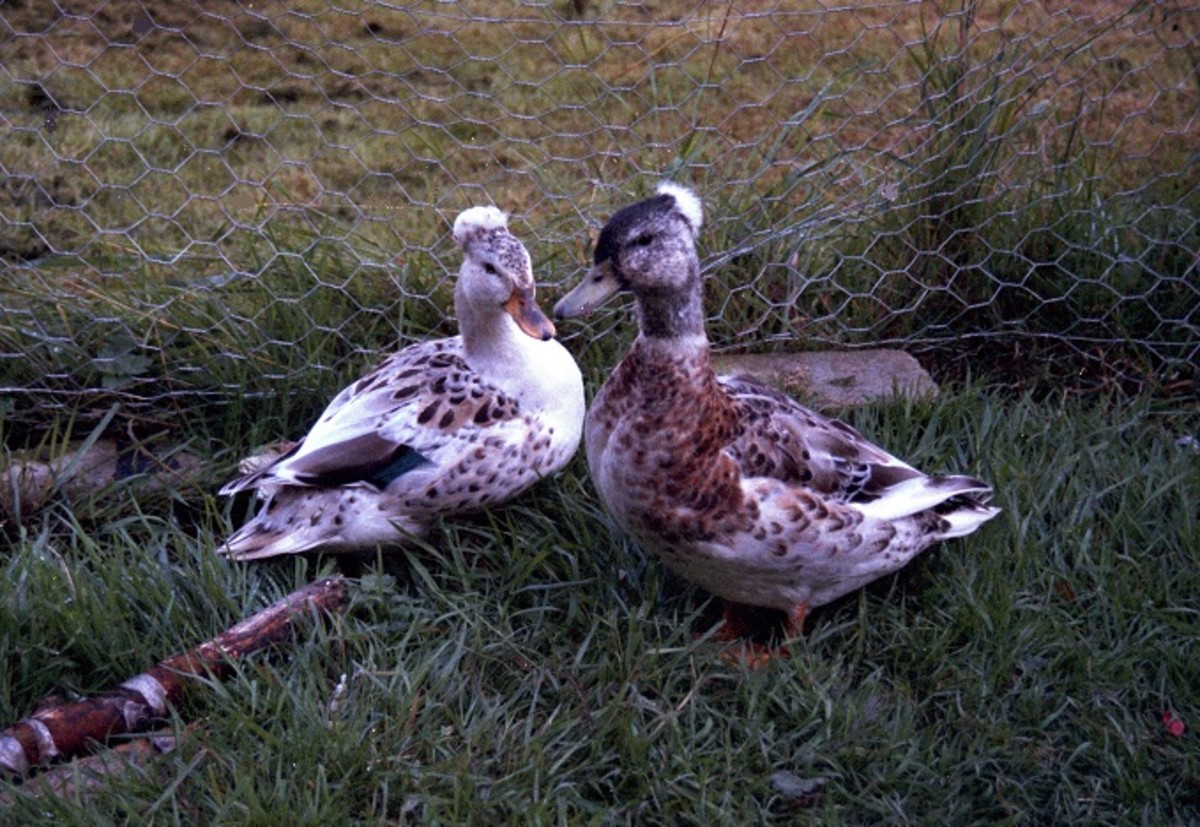 Crested Silver Appleyard Bantams