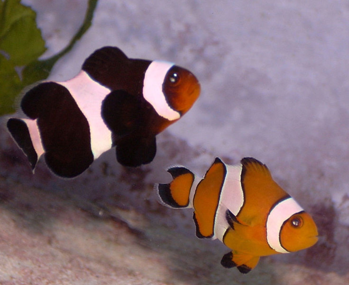 Two Ocellaris clownfish, one melanistic that will be solid black and white once it reaches adulthood.