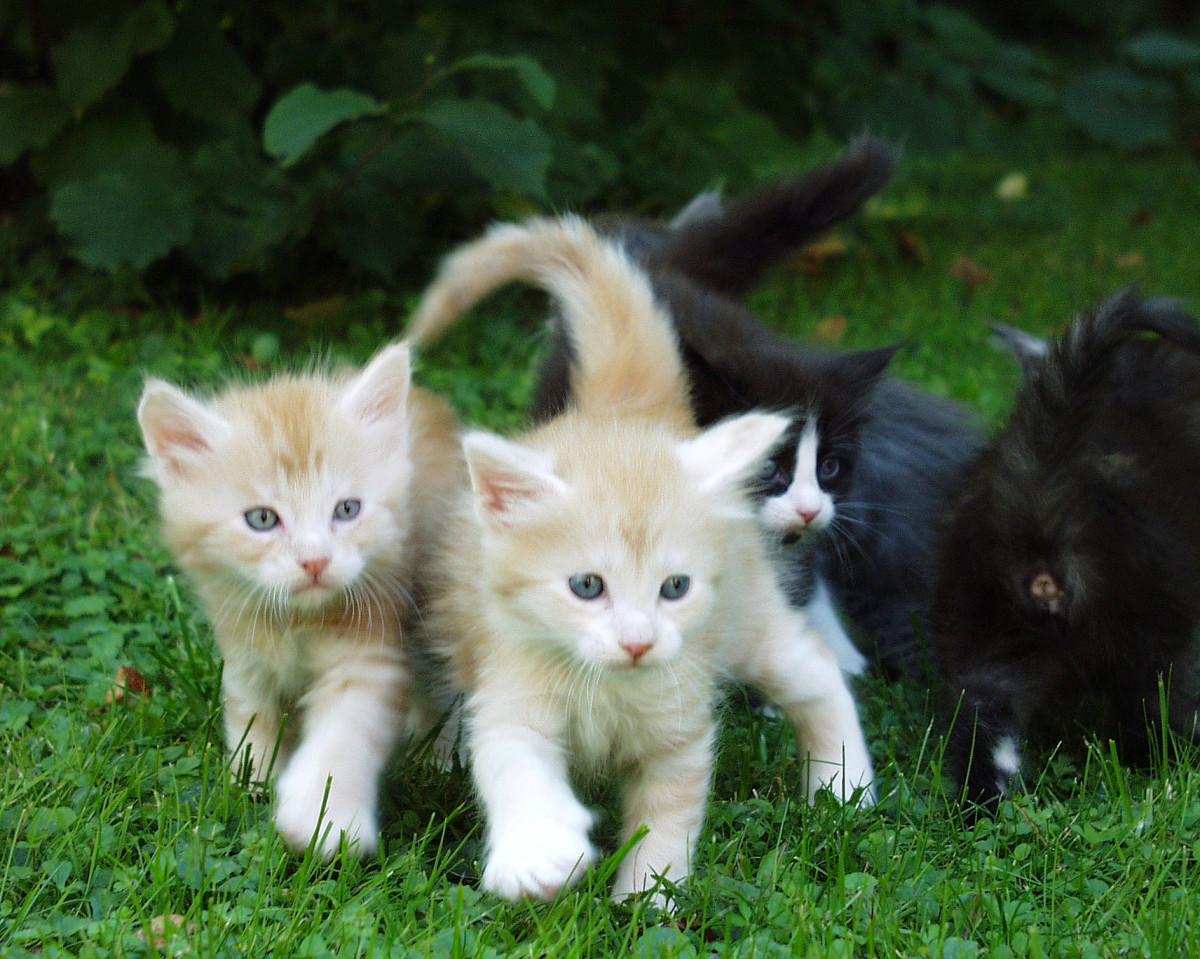 Feline Leukemia Virus