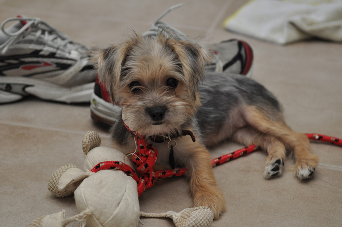 And this is a Morkie on duty.