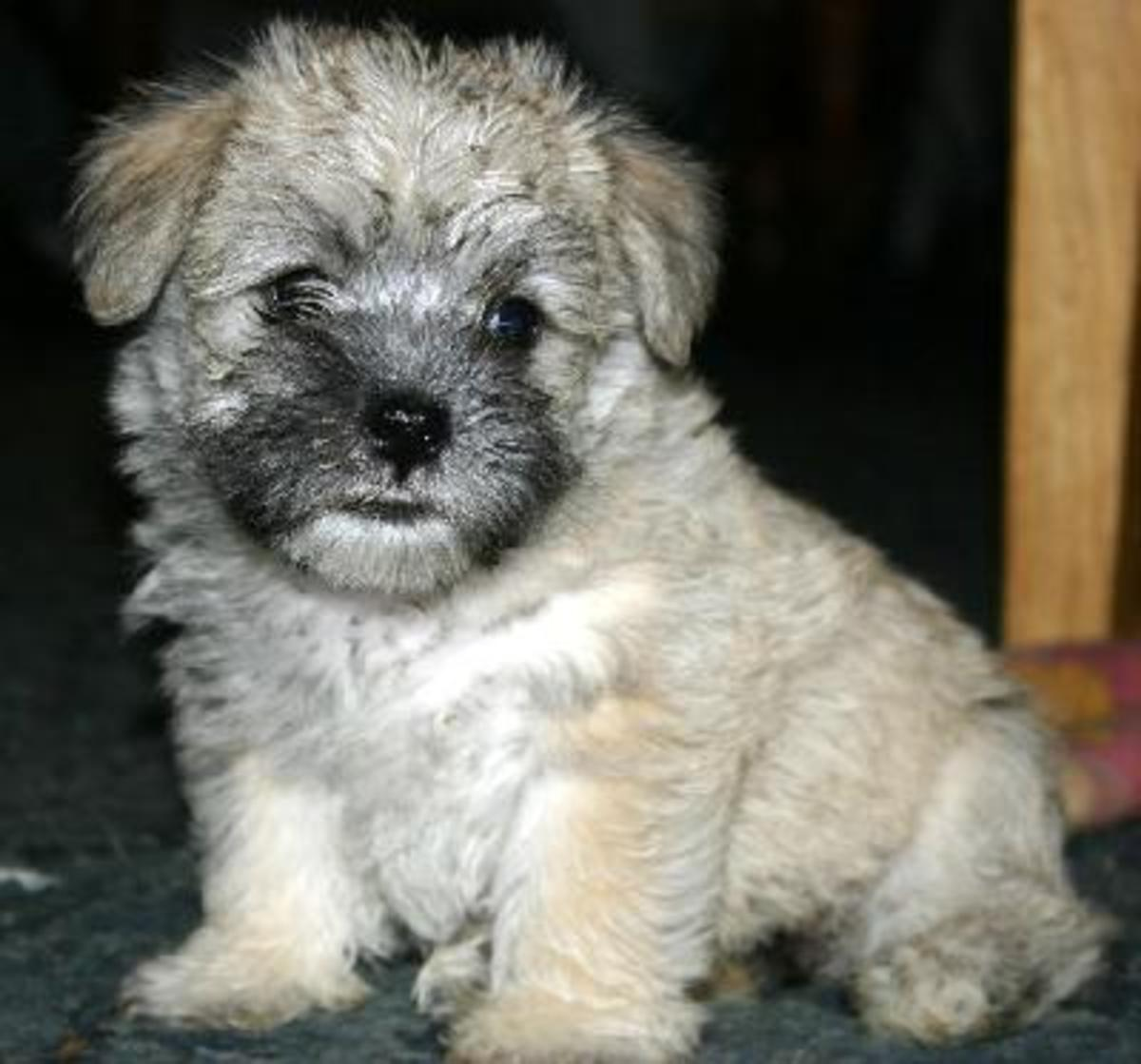 Mauzers, Labradoodles, Morkies, and Teddy Bears| The Truth about Designer Crossbred Puppies