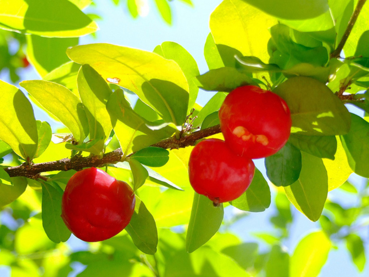 Acerola is a good source of natural vitamin C.
