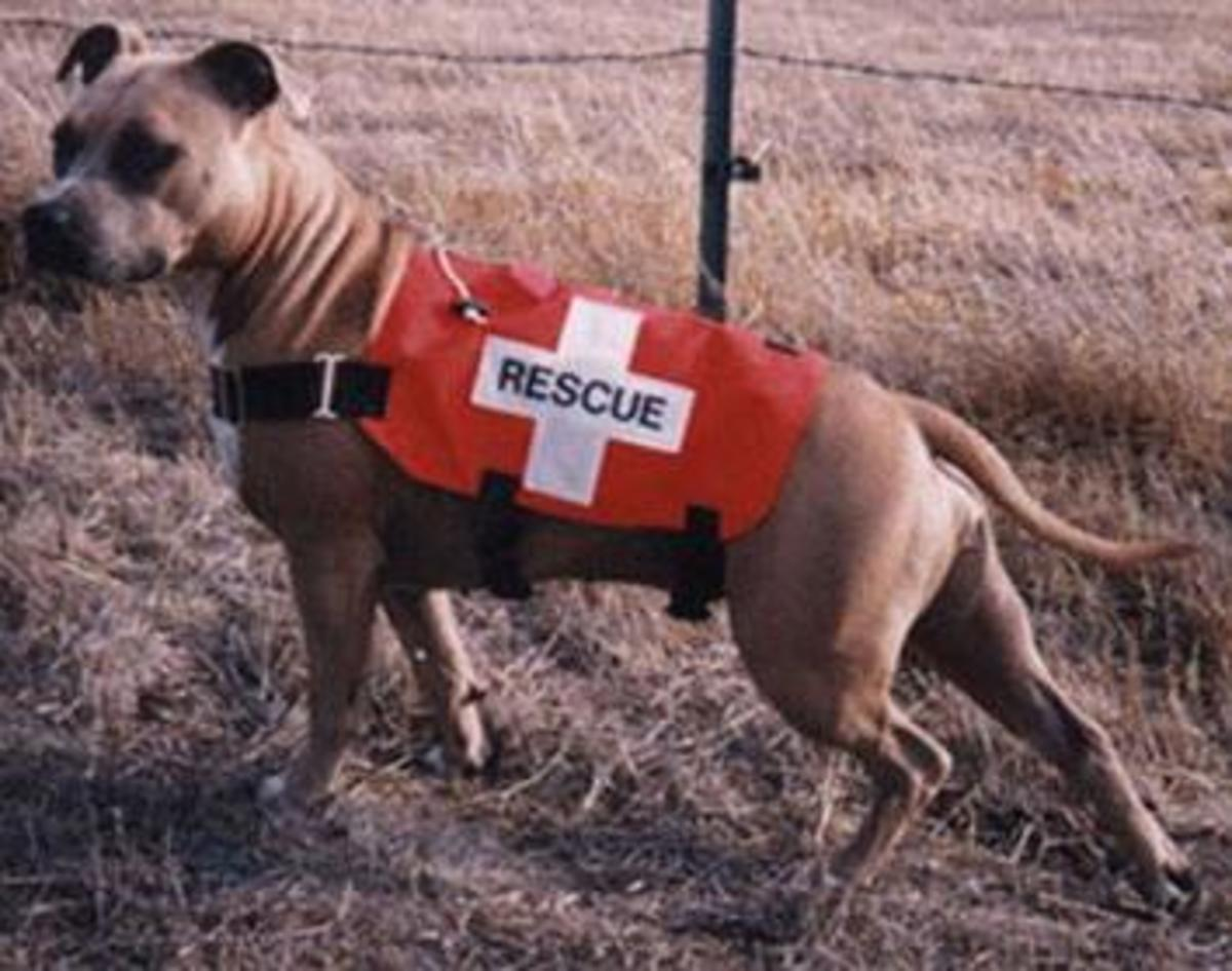 A Pit Bull employed as a search and rescue dog