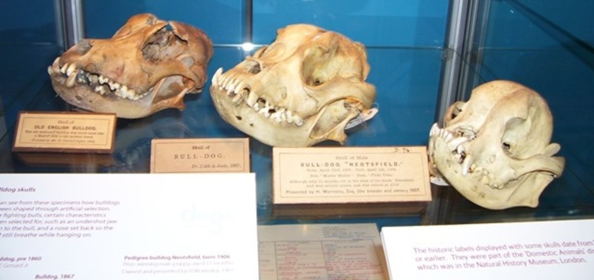 The skull on the far left is a bull dog skull from the 1800's, prior to the advent of dog shows, the middle skull is shortly after the first dog shows in the 1860s and the far right skull is the flat-faced skull we know today circa 1904.