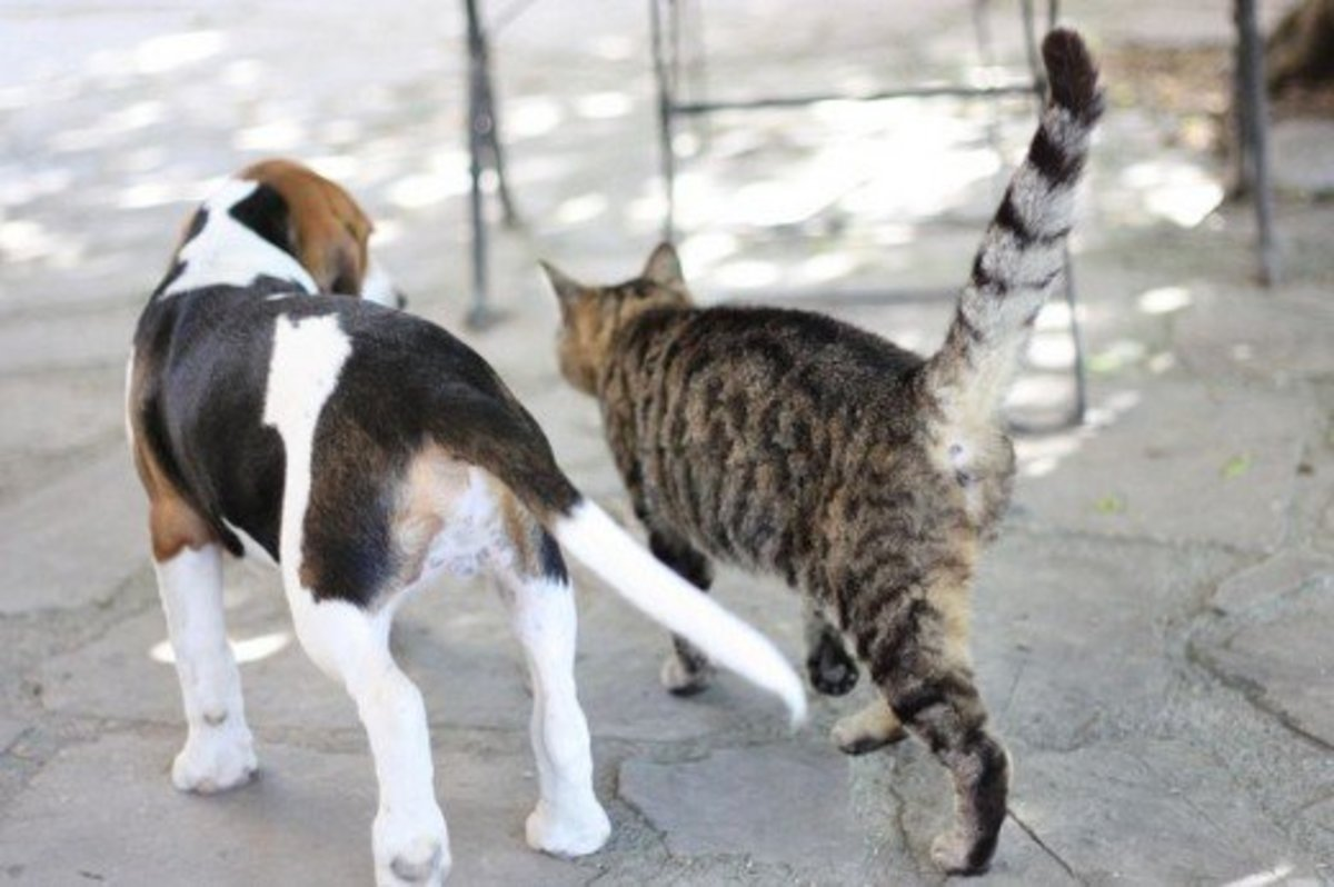 It doesn't matter whether your cat is a domestic short hair or a domestic long hairâ€, Beagles love them all.