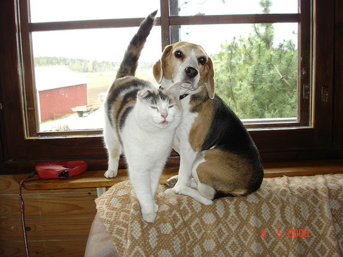 Beagles are so good with cats, that some of them will even climb the furniture to hang out with their feline friends.