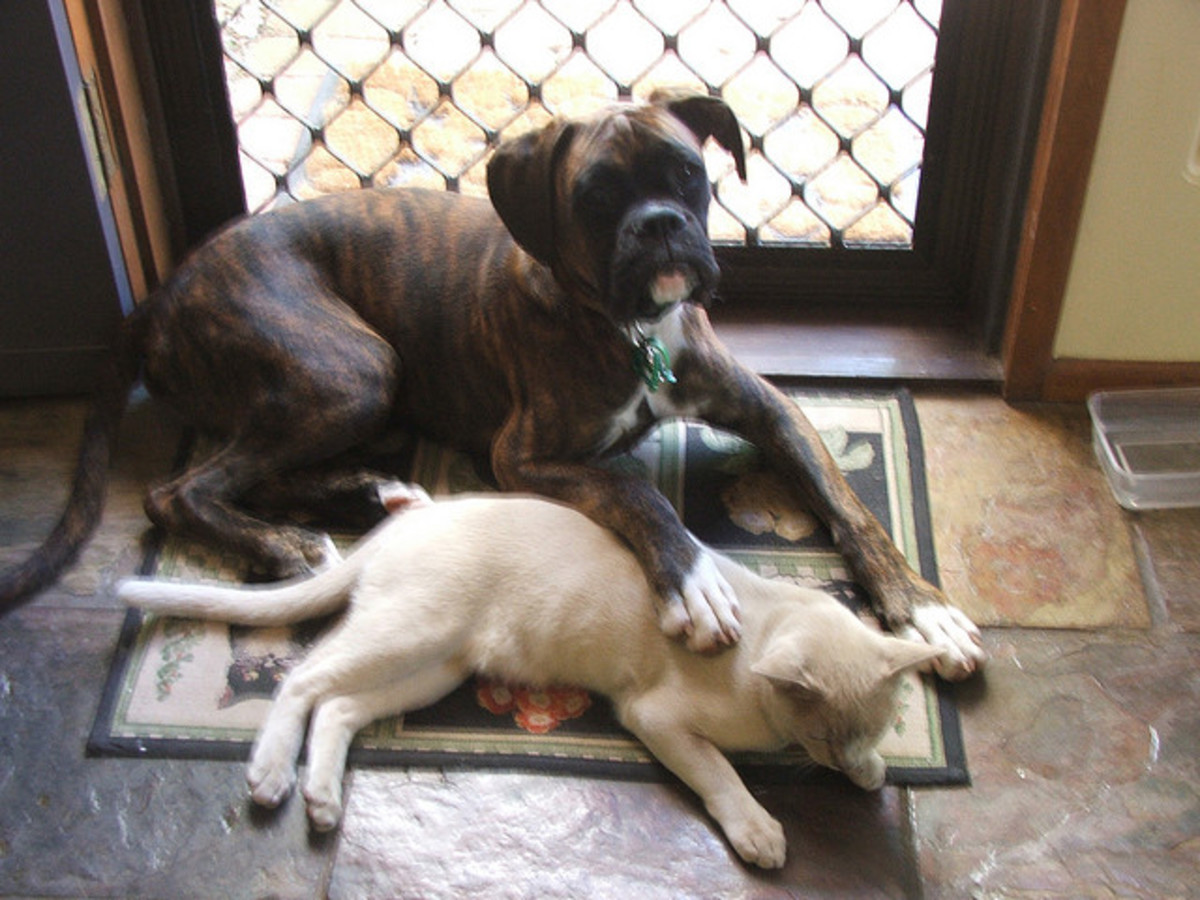 Boxers are great with cats, well, at times they are a little possesive.