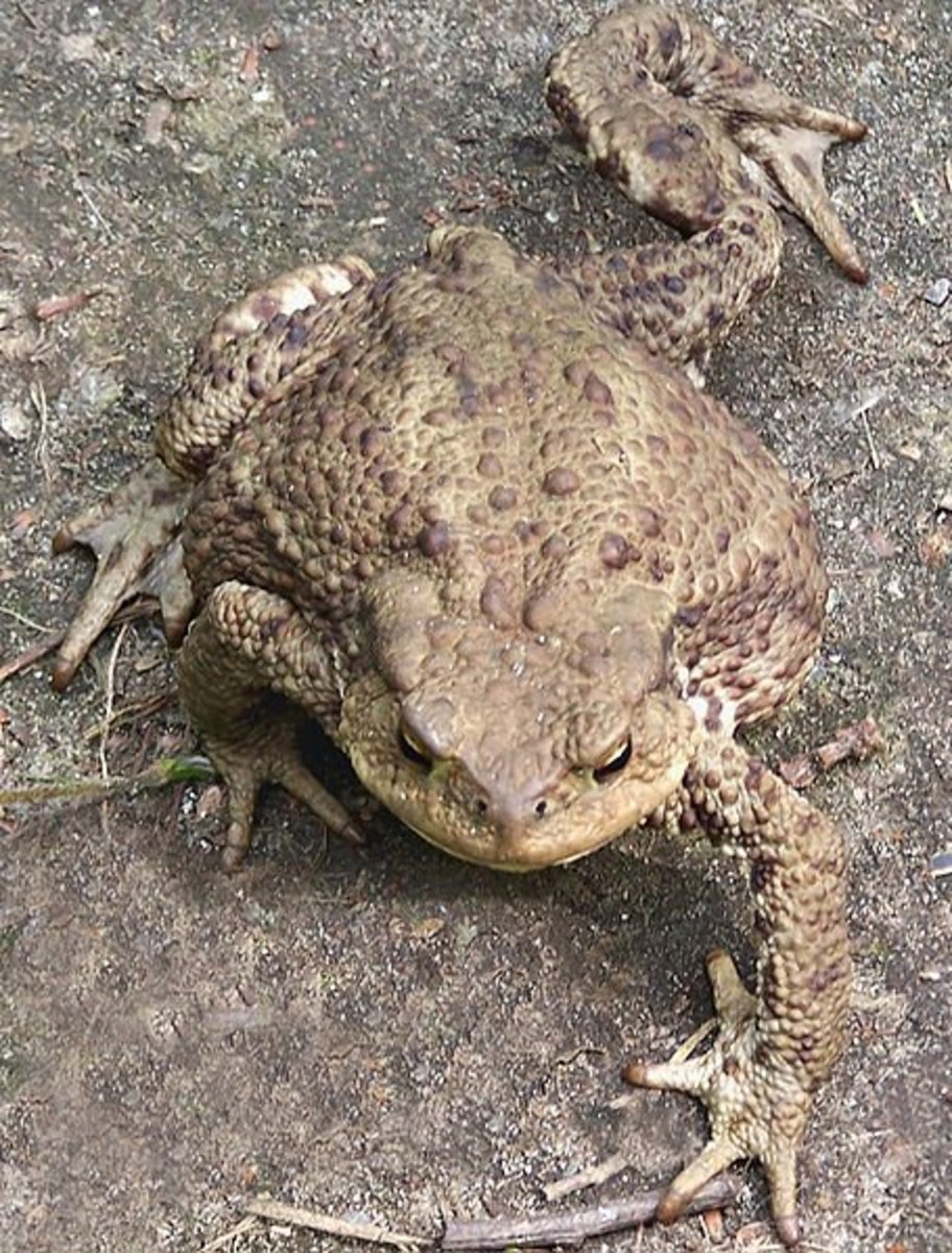 Common European toad Bufo bufo.