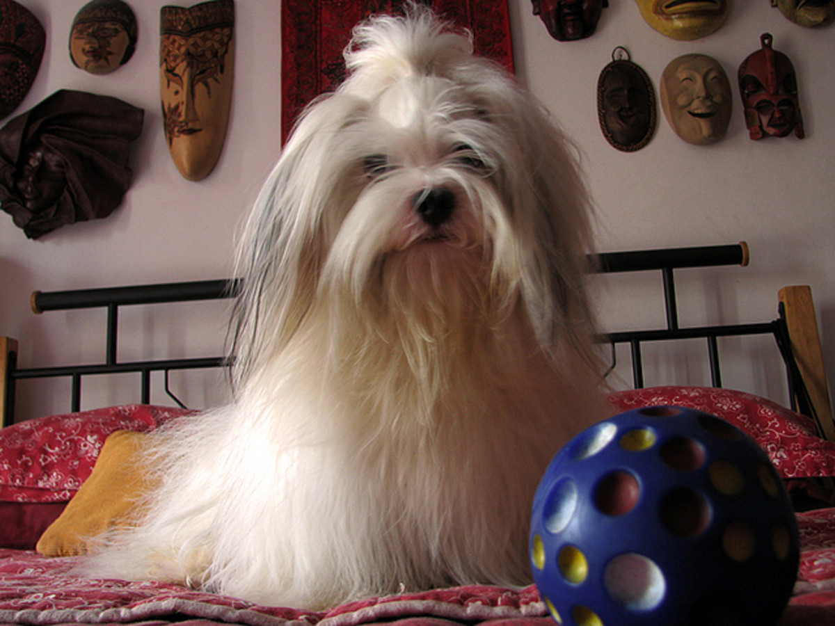 Lhasa Apso´s need to be groomed.