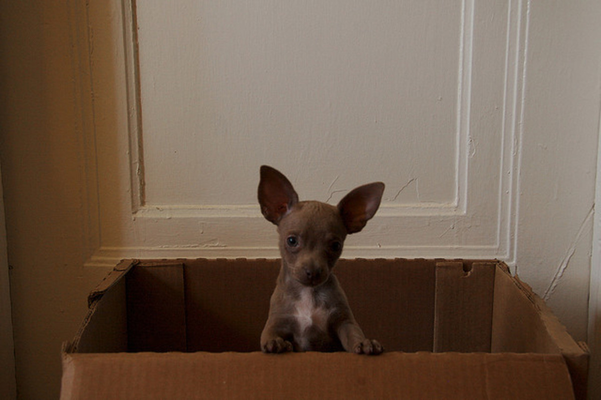 Young Chihuahas may be found anywhere.