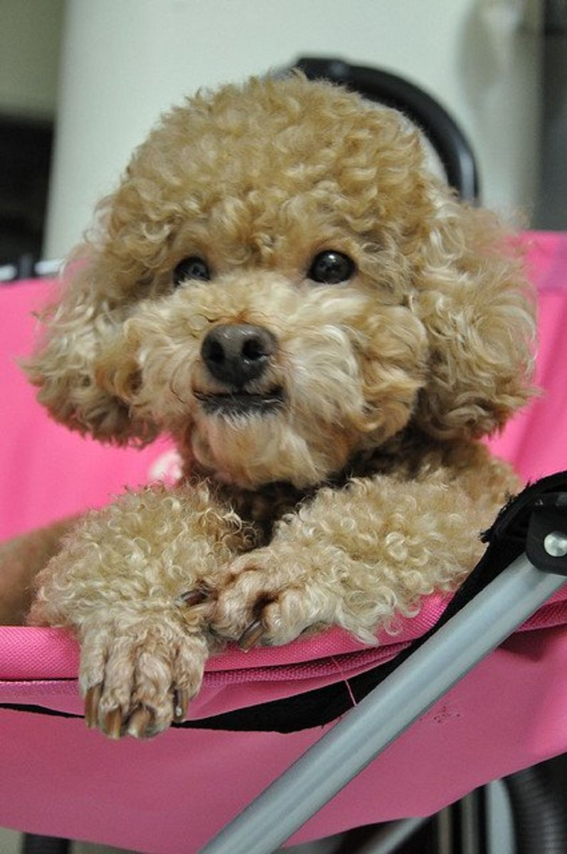 Toy Poodles come in many colors.