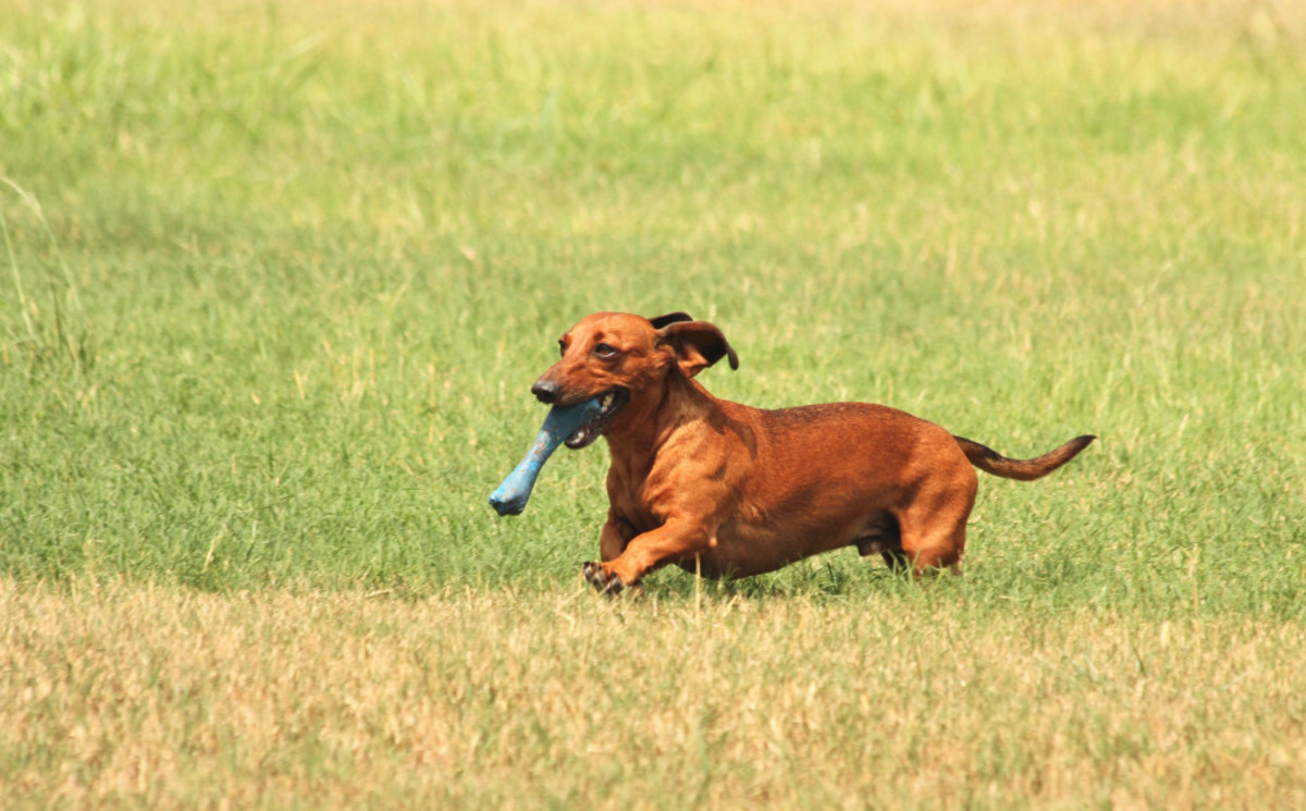 Dachshunds have strong hunting instincts, so those with small pets like rats or hamsters may want to consider another breed.