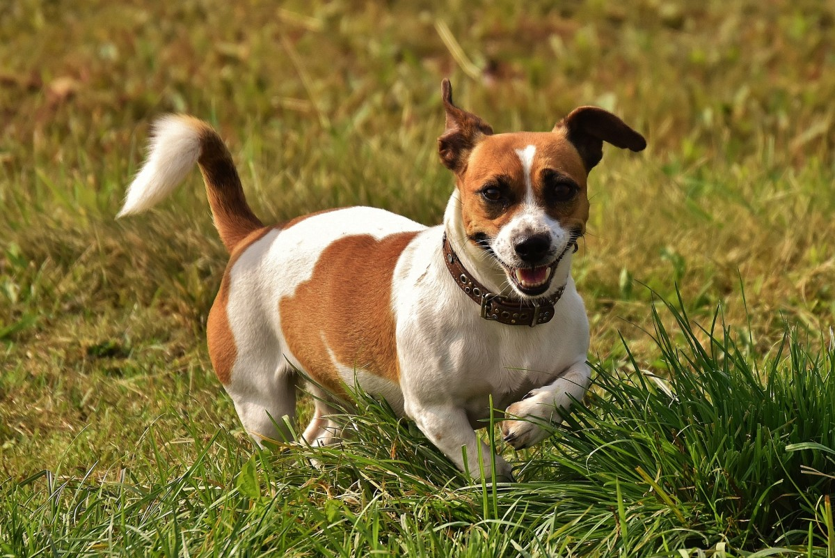 Jack Russell Terriers are stubborn and energetic, so they may not be the best choice for families with small children.