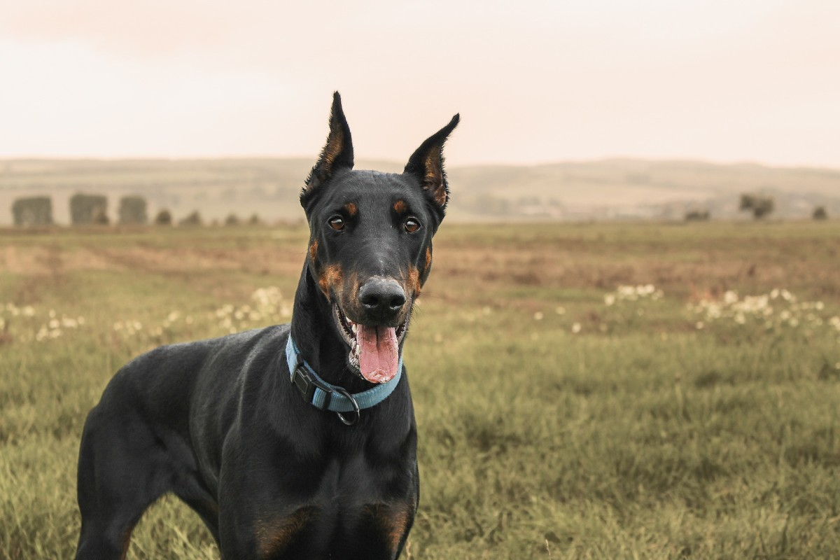 Doberman Pinschers are highly intelligent and very protective of their owners.