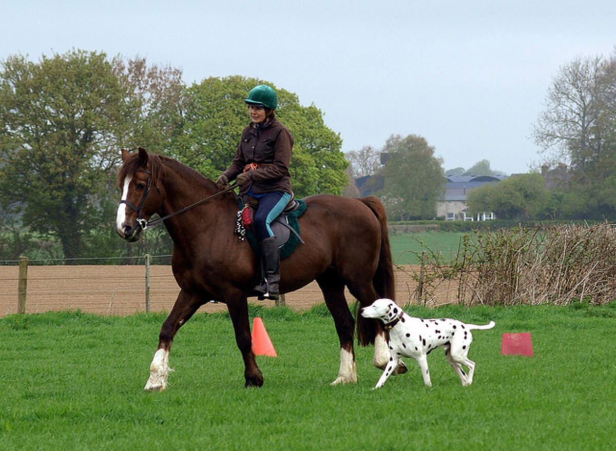 Dalmatians are famous for working around horses.