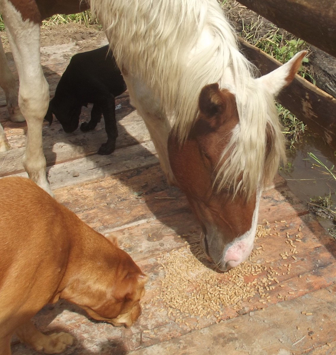 My dogs sharing breakfast with one of my mares--most dogs will get along with horses.