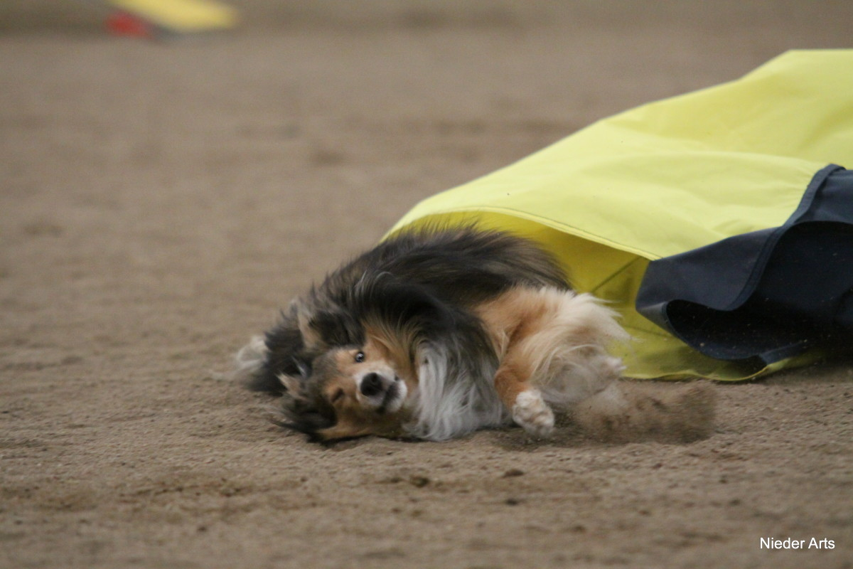 This sheltie has fallen in the chute and is coming out on the ground.  He was fortunately uninjured after this crash.
