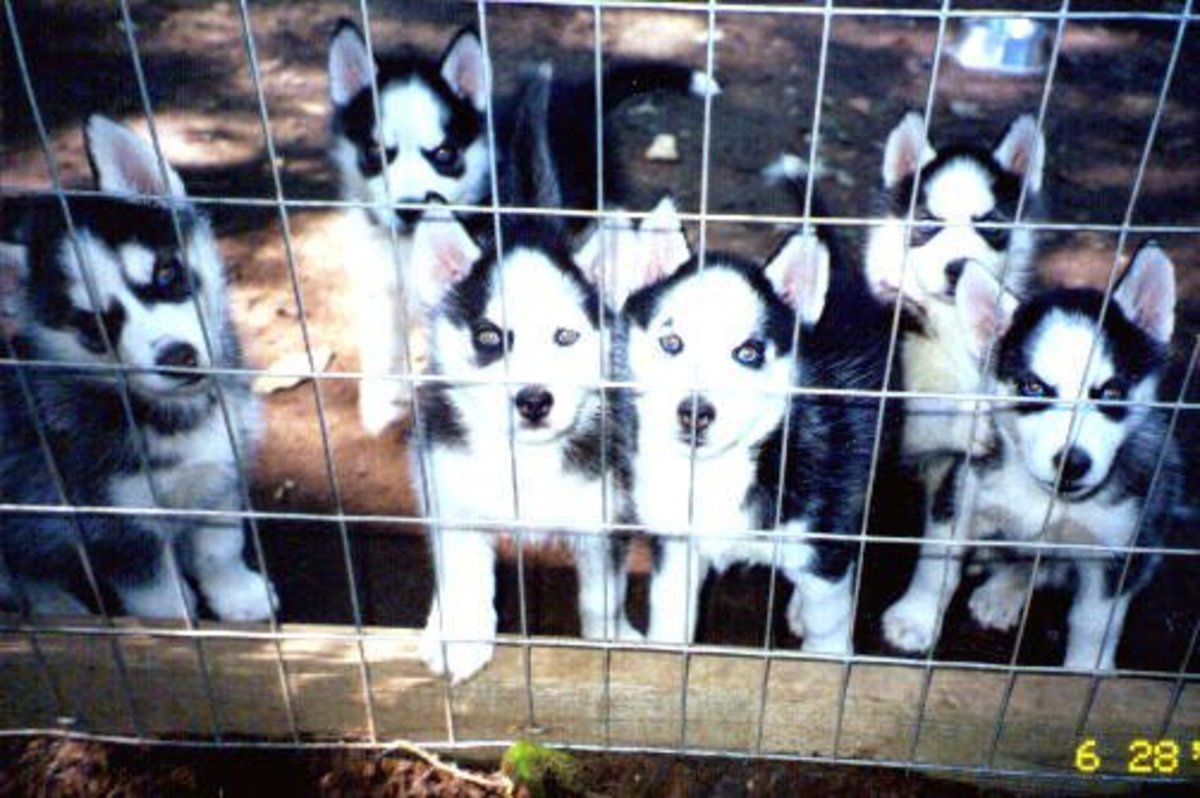 Siberian Huskies are considered pack dogs.