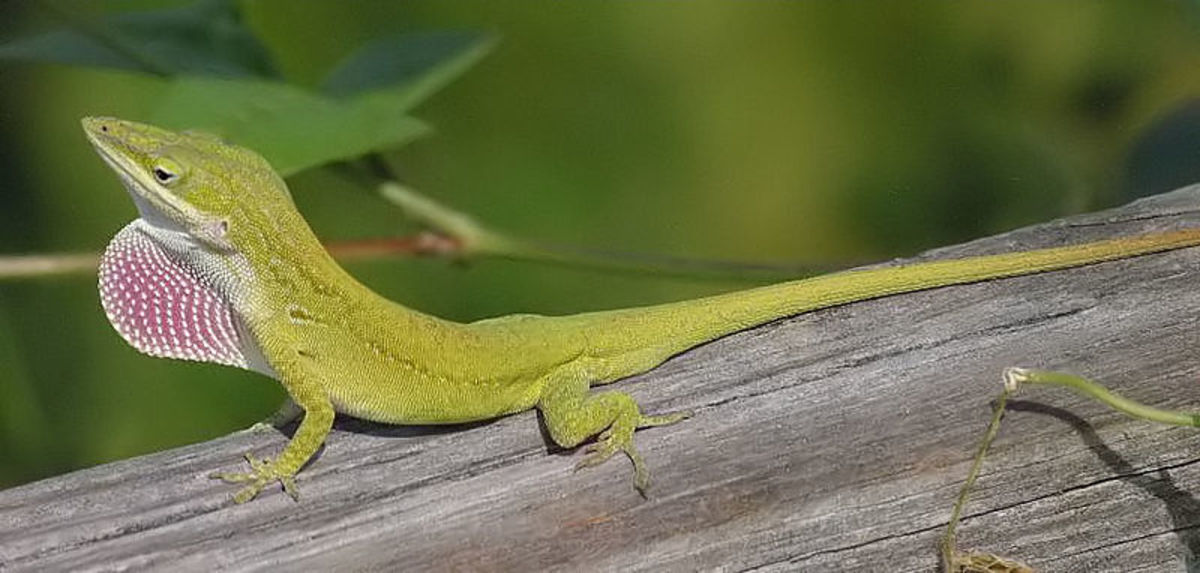 In this photo is a Carolina Anole. Its a fine specimen.