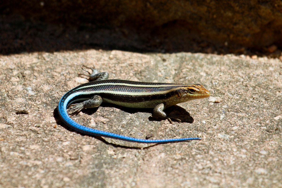 This wild, blue-tailed skink is another fine specimen.