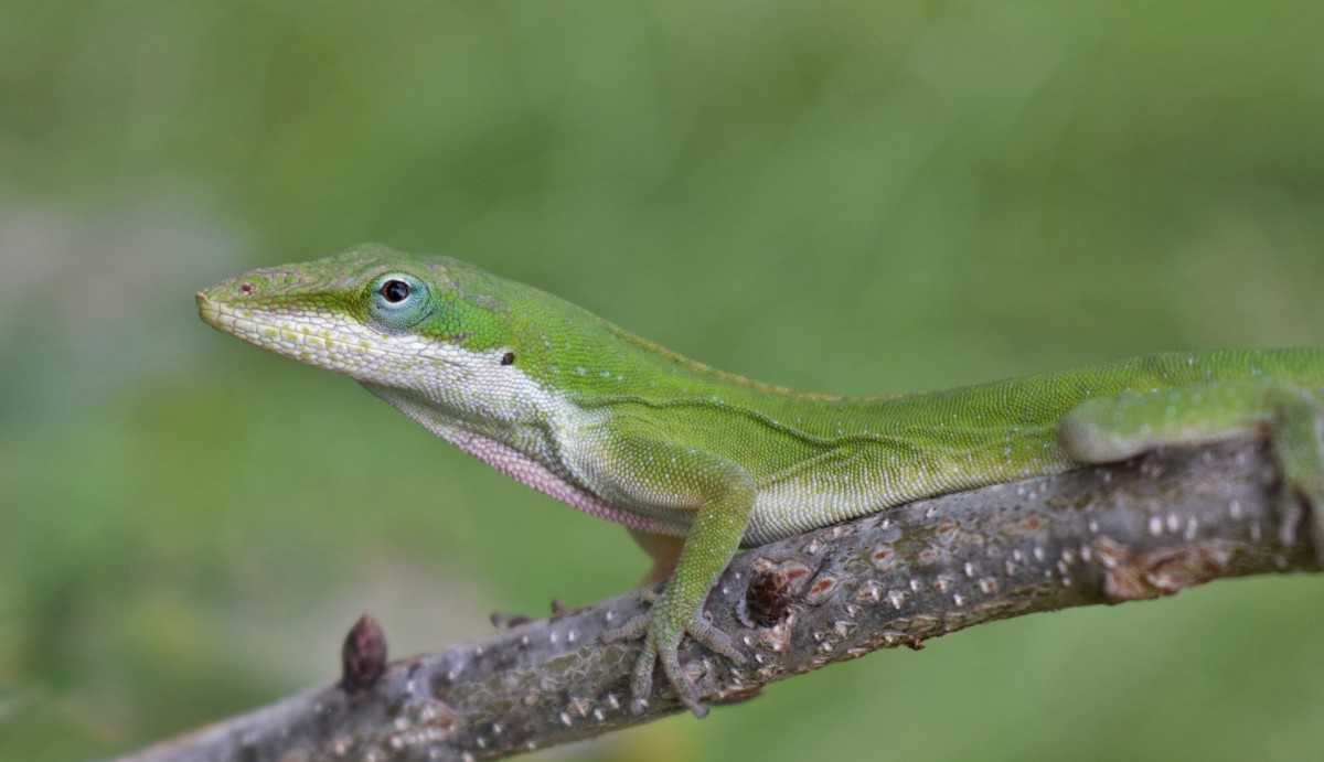 Captive-bred anoles are inexpensive and educational pets.