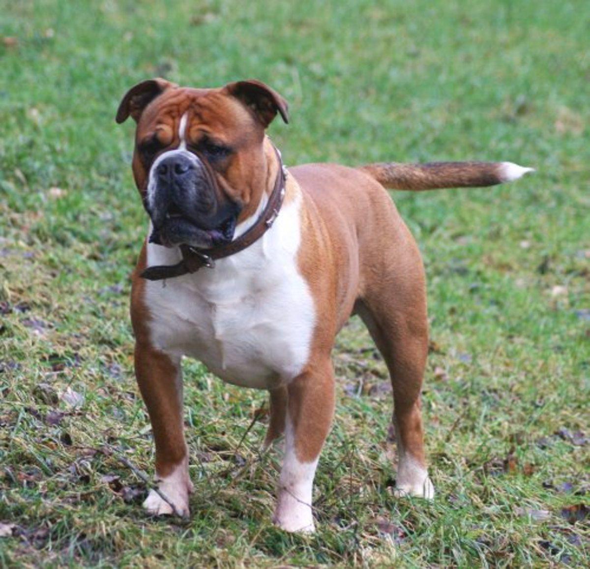 The Olde English Bulldogge