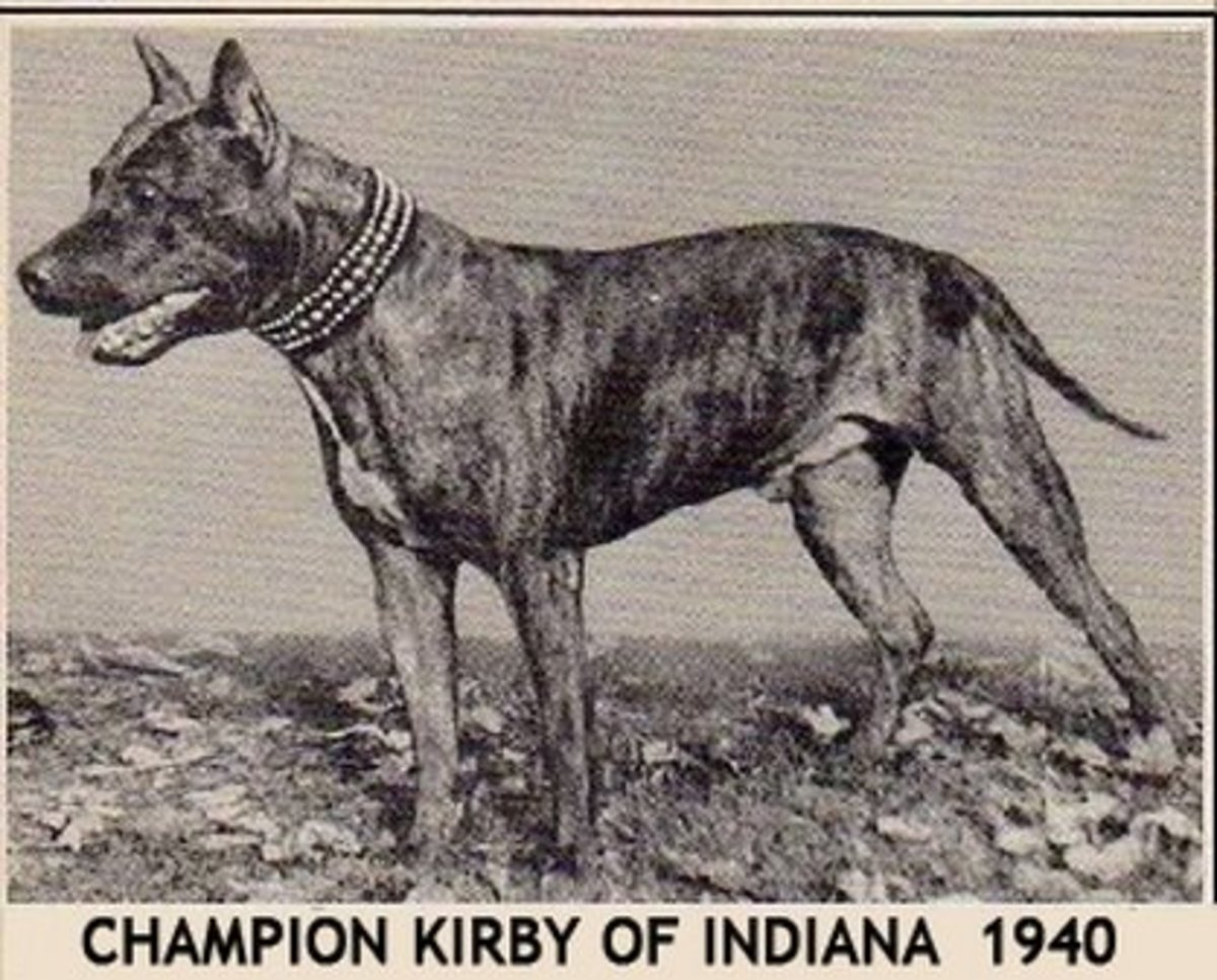 Kirby of Indiana was one of the earliest AKC Champion American Staffordshire Terriers. Kirby of Indiana is an example of an early Amstaff champion. Date 1940.